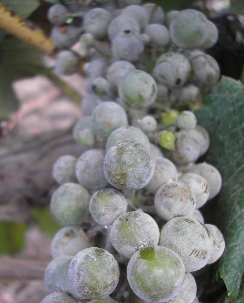болезни виноград фото