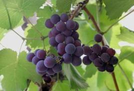 Украина стремительно теряет виноградники